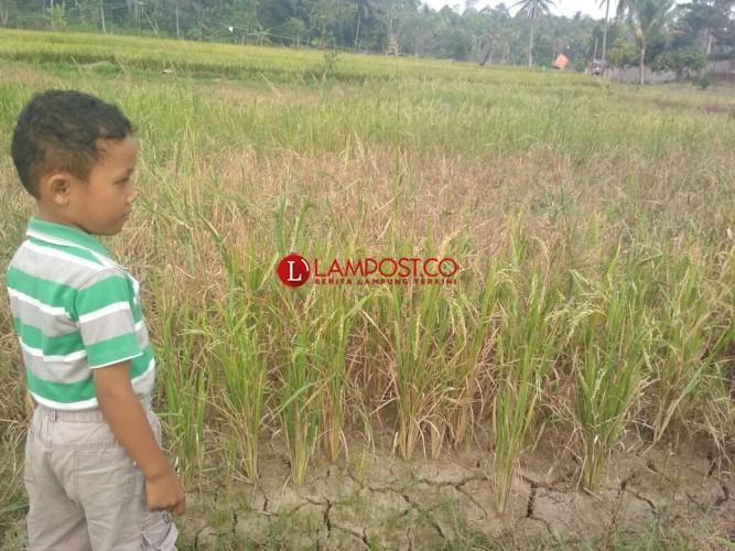 1.097 Hektare Lahan Pertanian Pesawaran Terkena Dampak Kemarau