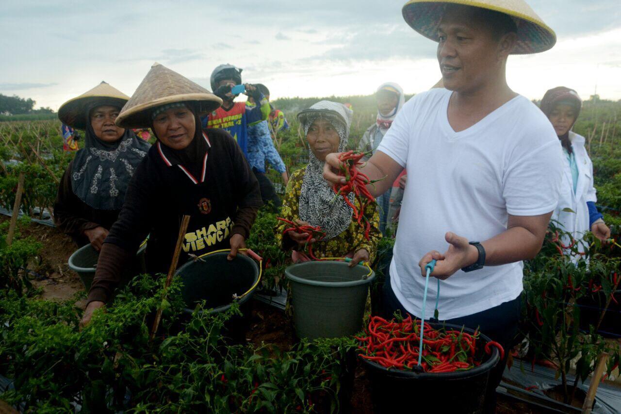 One Zone One Product, Bandar Agung Lampung Tengah Jadi Sentra Cabai Lado