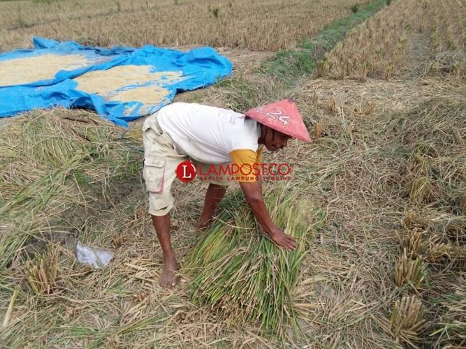 Susah Cari Rumput, Warga Sekampung Manfaatkan Jerami Untuk Pakan Ternak