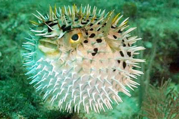 LAMPUNG POST | Ikan Buntal
