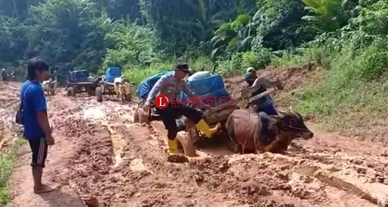Lewati Sungai dan Jalan Berlumpur, Gerobak Sapi Bawa Surat Suara di Bengkunat