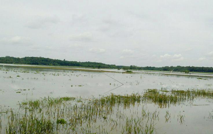 Terus Meluas, Lahan Padi Puso di Lamtim Mencapai 3.538 Hektare