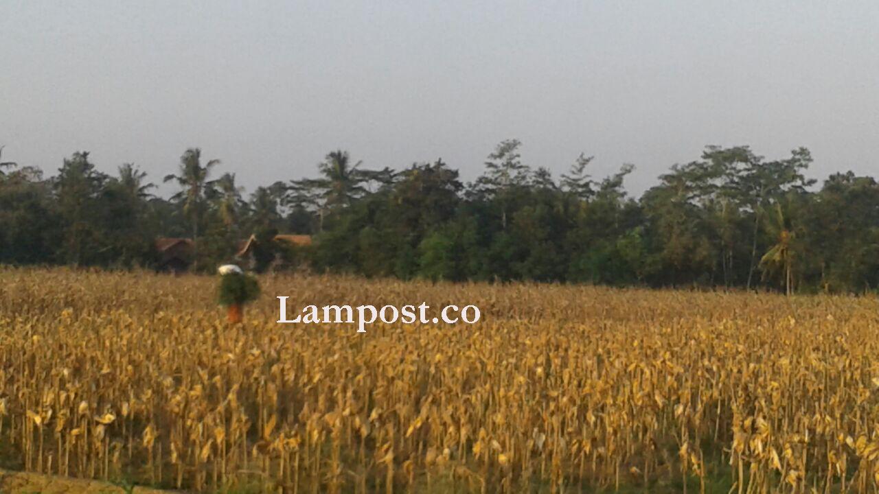 LAMPUNG POST | Kekeringan Mambuat Ribuan Hektare Lahan Pertanian Merana