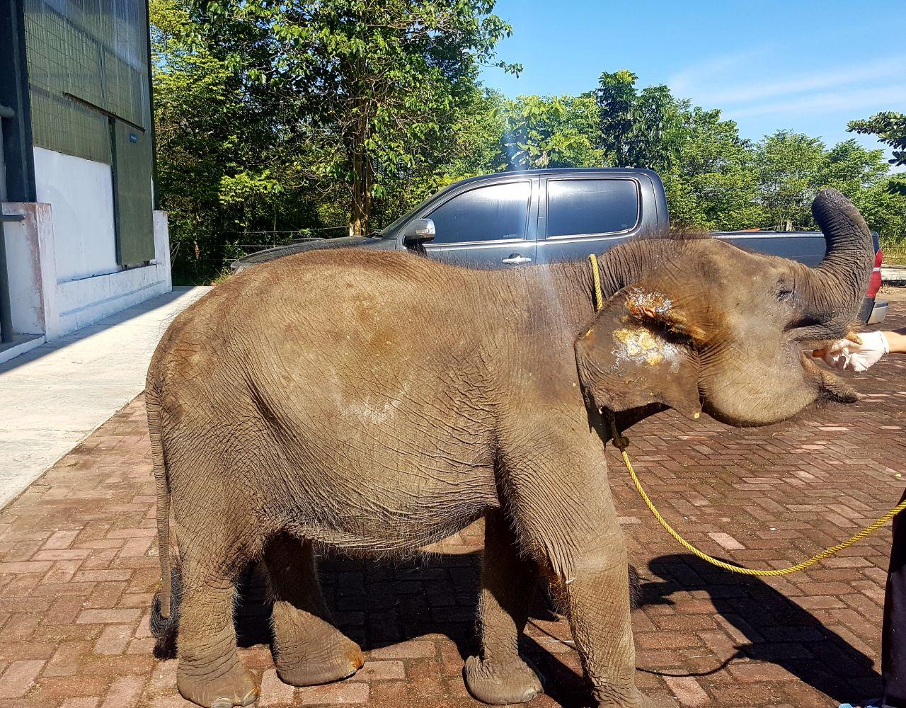 Kondisi Gajah Erin Kian Membaik