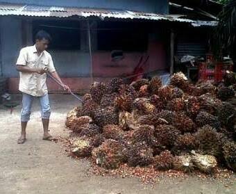 Harga TBS Sawit di Lampung Selatan Naik