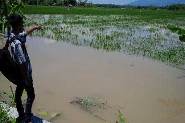 LAMPUNG POST | Ratusan Hektare Tanaman Padi Muda di Sragi Terendam Banjir
