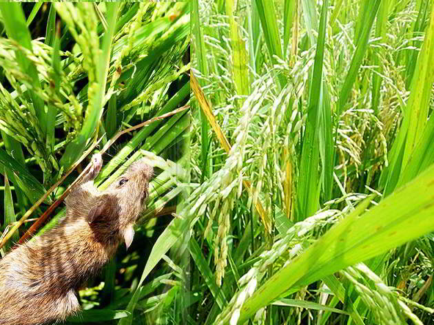 LAMPUNG POST | Petani Palembapang Keluhkan Hama Pengerat