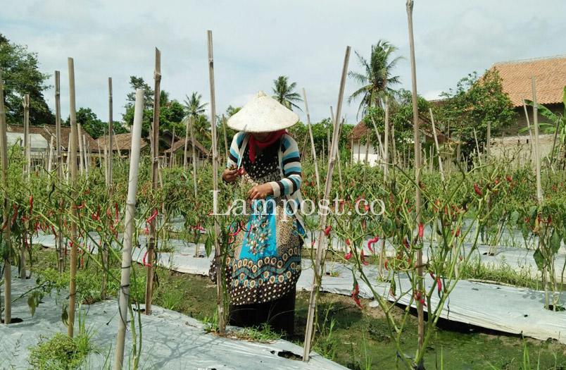 Cuaca Tak Menentu, Petani Cabai Way Sulan Merugi