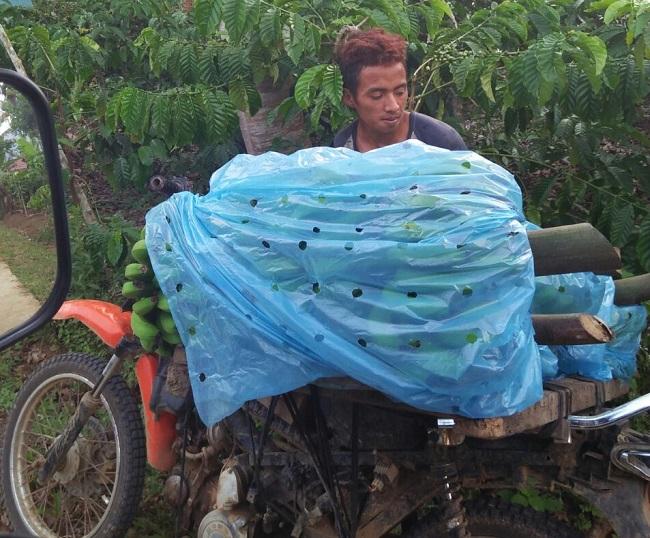 Harga Pisang Murah, Petani Lampung Barat Mengeluh