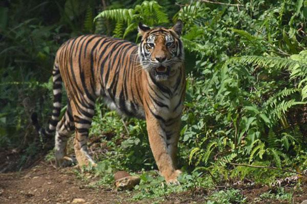 Harimau Sumatera Tersisa 17 Ekor di Bengkulu