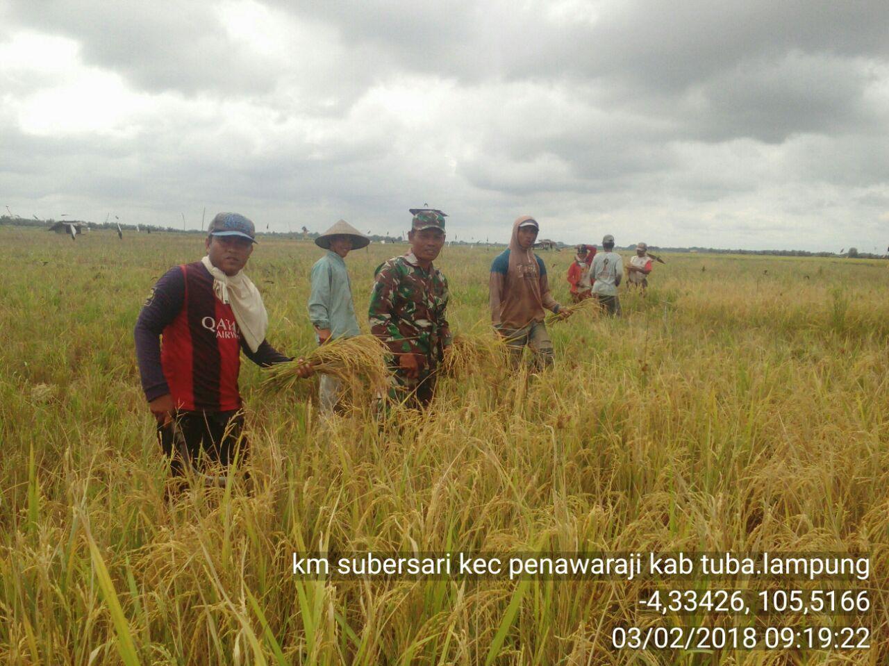TNI Bantu Petani Panen Padi di Tulangbawang