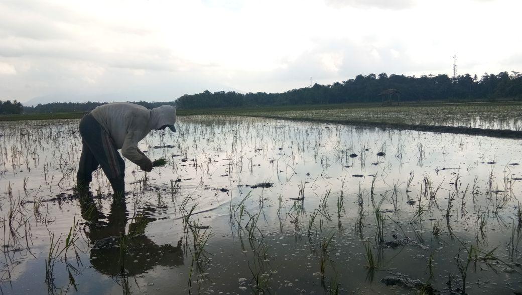 Banjir Hantam Palas, Petani Rugi Miliaran Rupiah