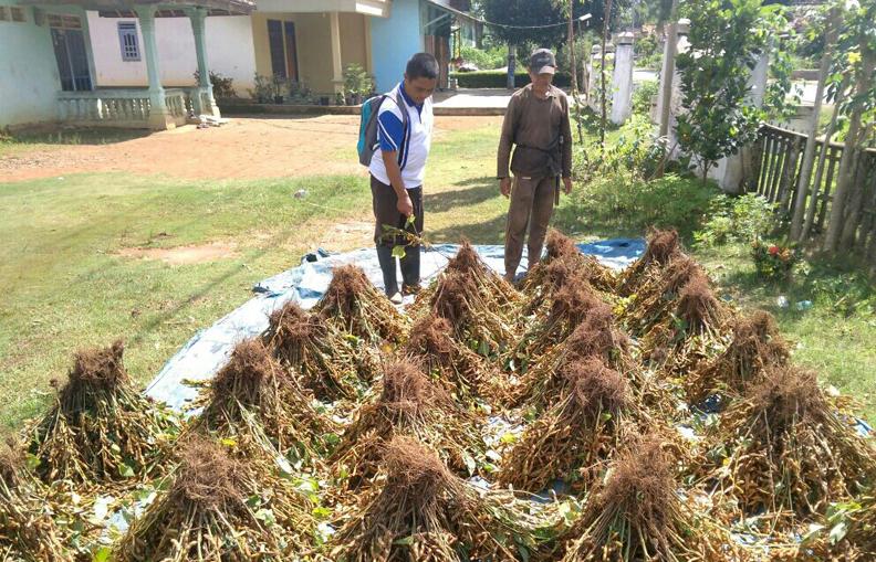 Petani Kedelai di Lampura Terpaksa Jual Murah Hasil Panen