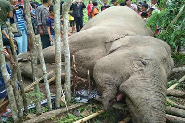 LAMPUNG POST | Gajah Ditemukan Mati Tanpa Gading