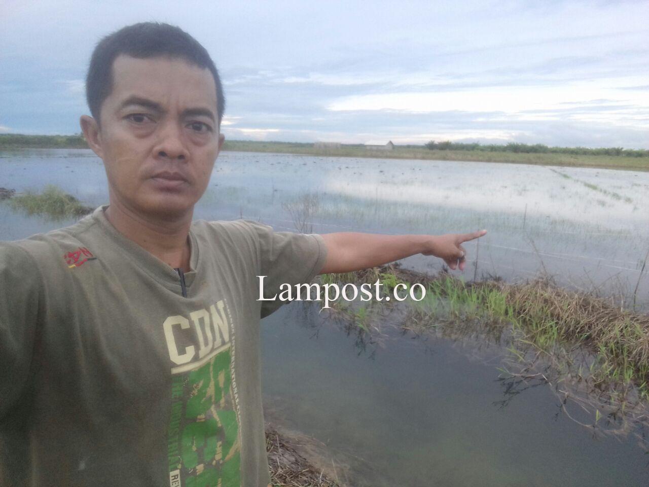 80 Hektare Sawah di Sritanjung Mesuji Terendam Banjir