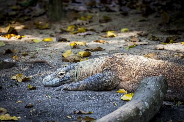 74 Ekor Bayi Komodo Menetasdi Kebun Binatang Surabaya