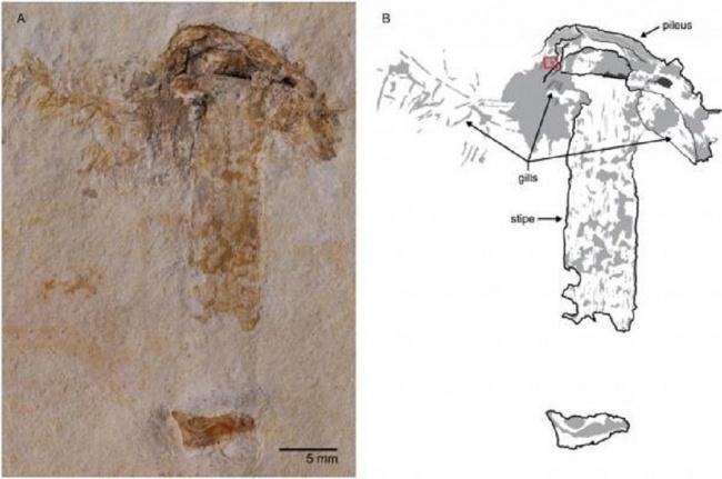 LAMPUNG POST | Fosil Jamur