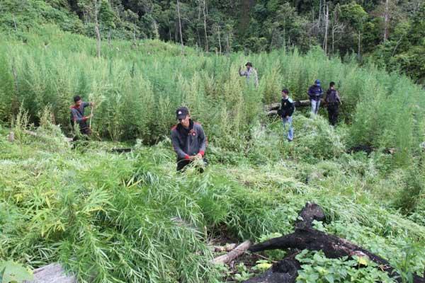 Begini Pengakuan Warga yang Menemukan Ladang Ganja di Tanggamus