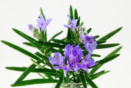 LAMPUNG POST | Rosemary dan Daya Ingat Anak