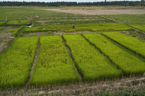 Lampung Target Cetak Sawah hingga 23 Ribu Hektare
