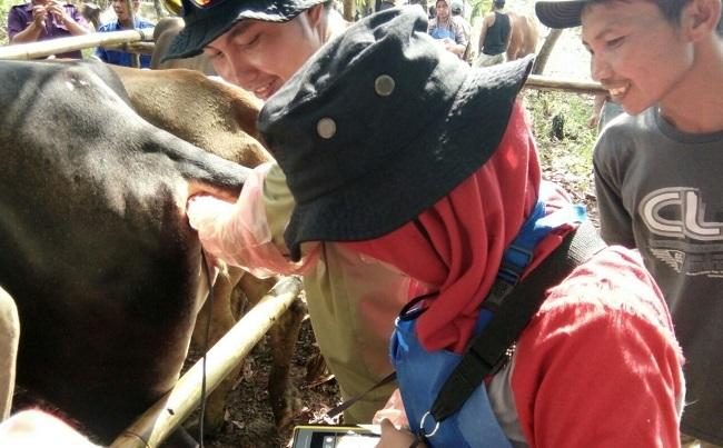Program Upsus Siwab di Way Kanan Tingkatkan Populasi Ternak Sapi