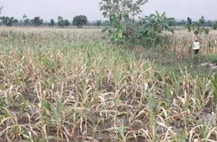 LAMPUNG POST | Petani Jagung di Kotabumi Selatan Terancam Gagal Panen