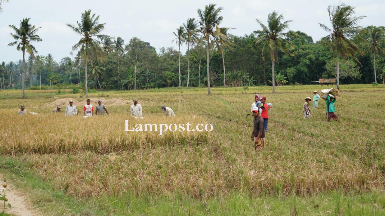 LAMPUNG POST | Pengusaha Penggilingan Keluhkan Pedagang dari Jawa Beli Gabah Petani