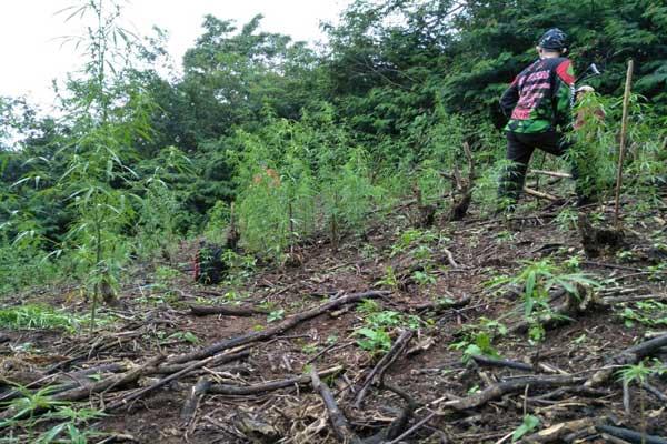 Polisi Buru Pemilik Ladang Ganja di Tanggamus