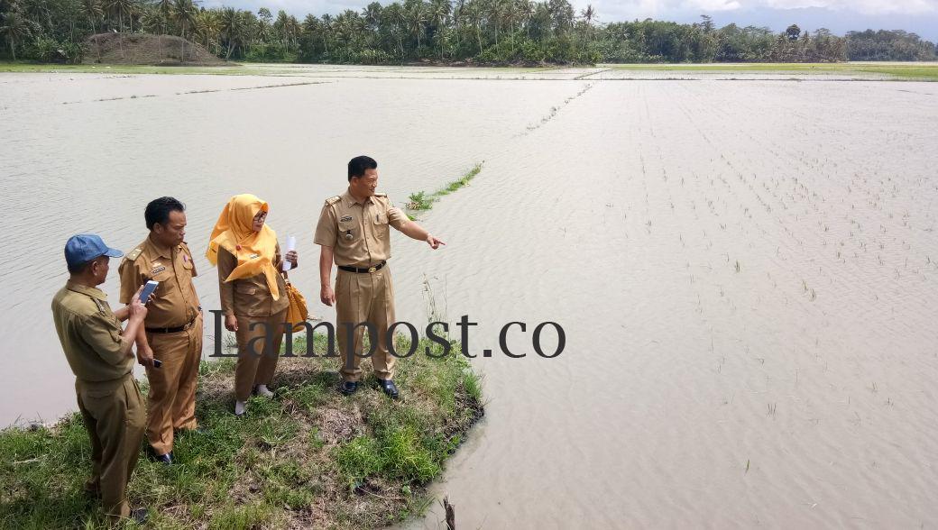 Ribuan Hektare Tanaman Padi di Lamsel Terdampak Banjir
