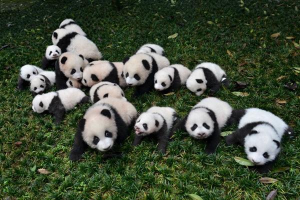 LAMPUNG POST | Kemeriahan Ultah Pertama Bayi Panda di Wakayama