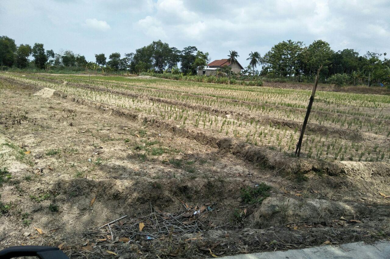 Puluhan Hektare Sawah di Pesisir Timur Lamsel Masih Kekeringan
