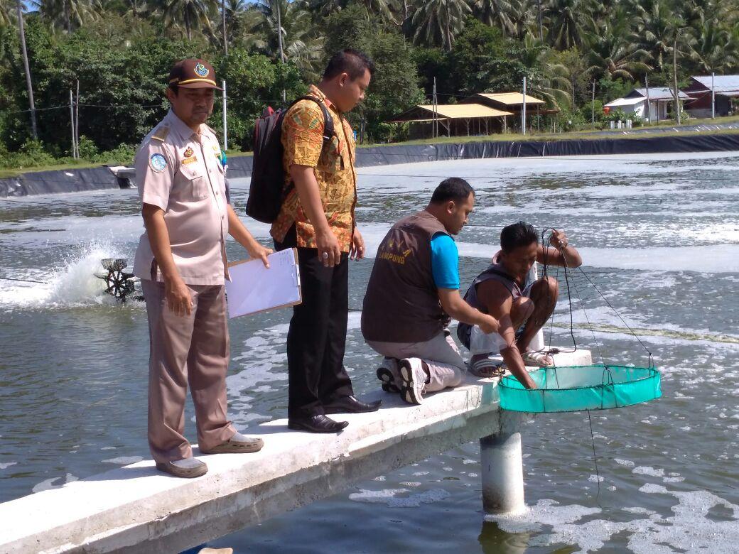 Dinas Perikanan Pesisir Barat Sayangkan Para Petambak Tak Laporkan Kasus Panen Dini Udang