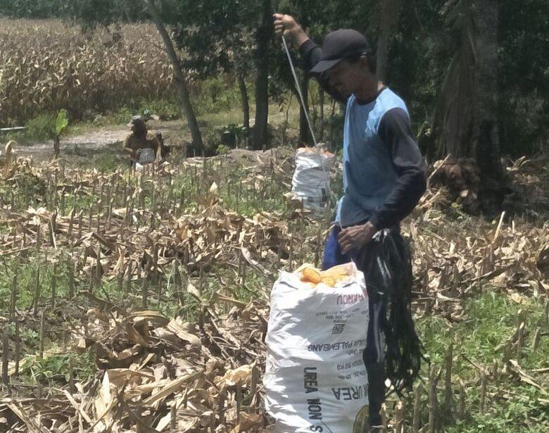 Petani Jagung Keluhkan Besarnya Potongan dari Pabrik dan Gudang