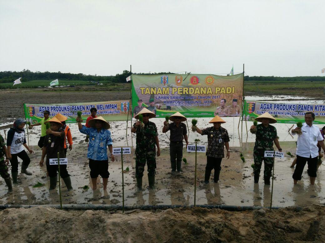 LAMPUNG POST | Petani di Negarabatin Tanam Perdana Padi di Cetak Sawah Baru