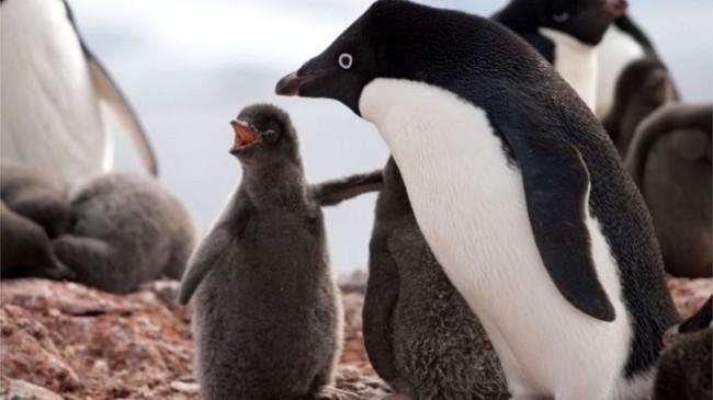 LAMPUNG POST | Ratusan Penguin Mati Kelaparan di Antartika Timur