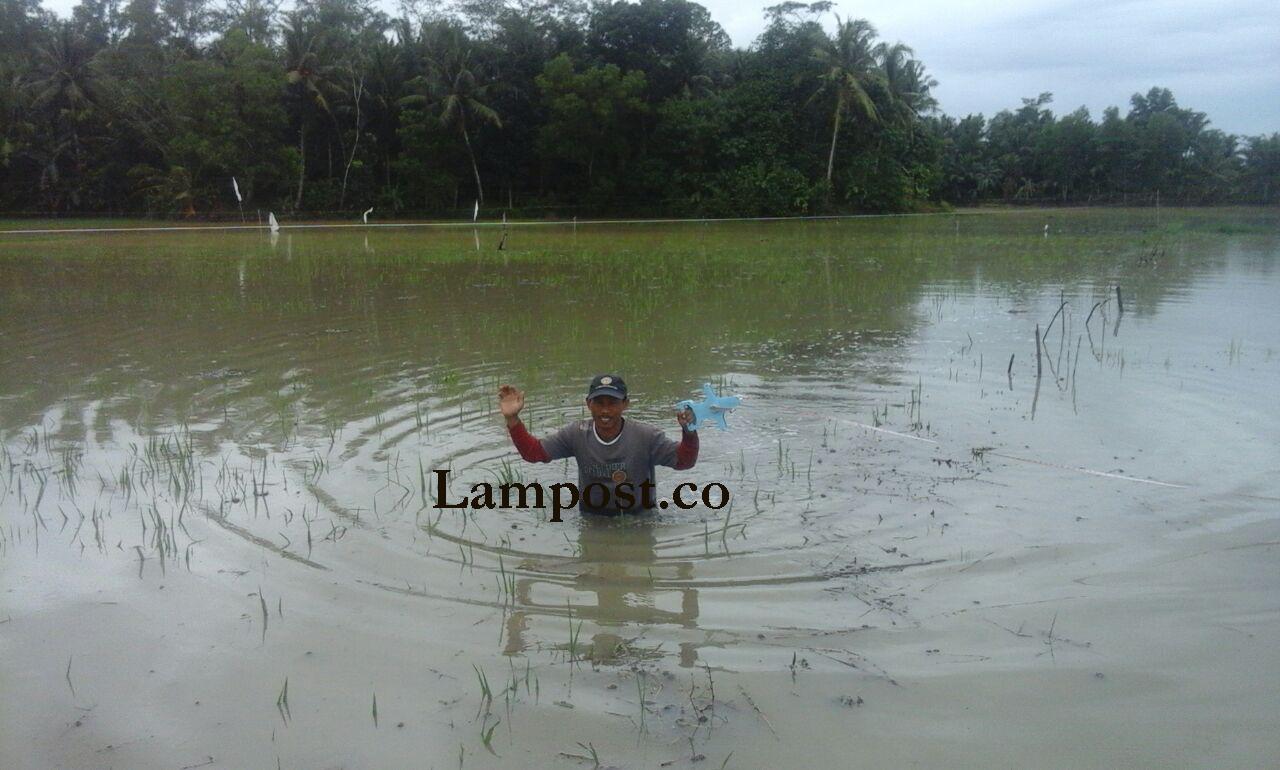LAMPUNG POST | Luas Lahan Pertanian yang Terendam Banjir di Lamsel Bertambah