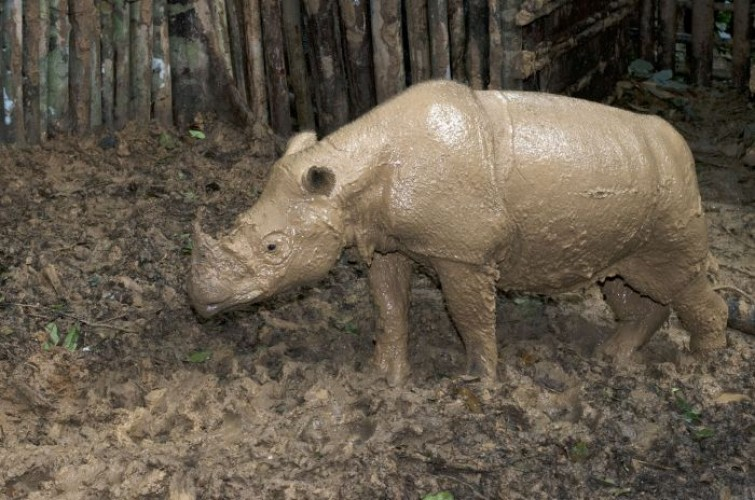 Badak Sumatera Butuh Reproduksi Buatan