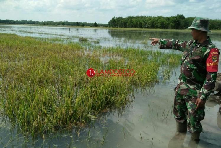 Banjir di Mesuji Timur Rendam 255 Ha Sawah