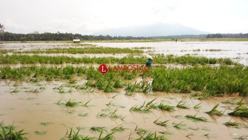 Banjir Sebabkan 51,5 Ha Lahan Padi di Suoh Gagal Panen