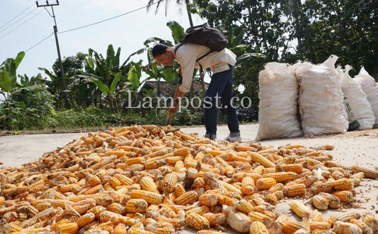 LAMPUNG POST | Panen, Harga Jagung di Ketapang dan Sragi Turun
