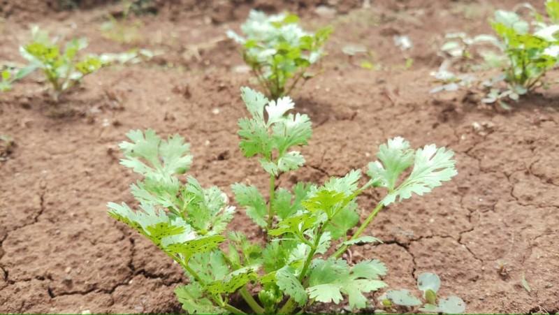Bertanam Ketumbar Itu Mudah