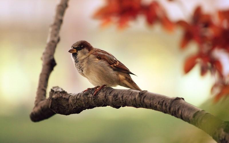 Burung Pipit dan Ibrahim As