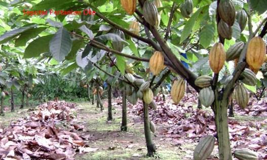 Gubernur Dukung Pesawaran Jadi Bumi Tanaman Kakao