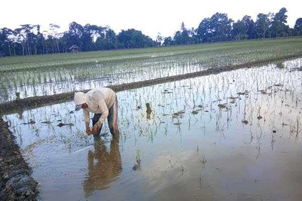 425 Hektare Tanaman Padi Rusak Akibat Banjir di Palas