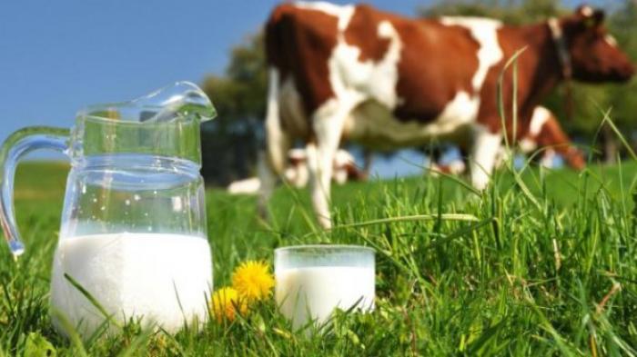 LAMPUNG POST | Susu Sapi dan Tinggi Badan