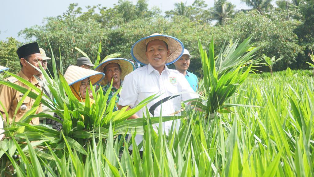 Budi Dayakan Rumput Odot, Mustafa Kembangkan Pakan Ternak Mandiri