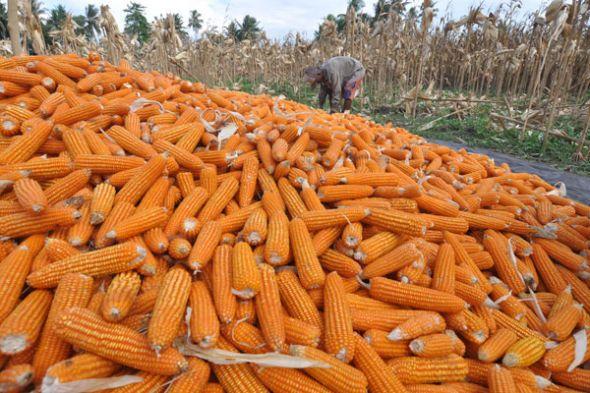 Harga Jagung Basah di Lampung Utara Naik Capai Rp2.500 Per Kilo