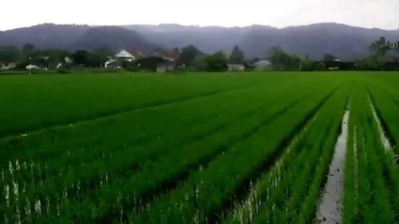 Data Luas Sawah di Lampura Antara Dinas Pertanian dan BPN Berbeda