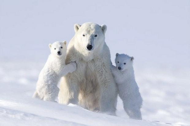 LAMPUNG POST | Beruang Kutub Muncul