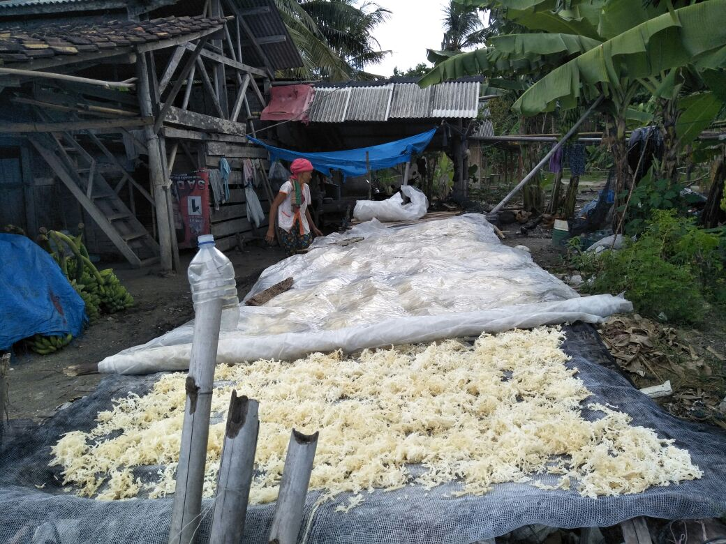 LAMPUNG POST | Harga Tinggi, Pembudi Daya Rumput Laut di Lamsel Bergairah